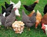 Особенности бизнеса по разведению кур несушек на яйца