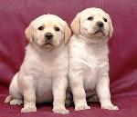 Особенности бизнеса по разведению собак