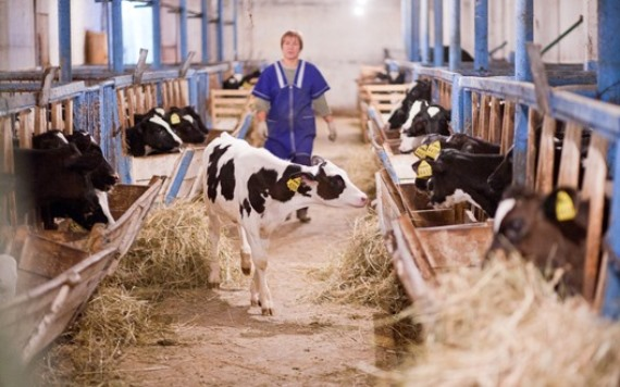 Помещение молочной фермы