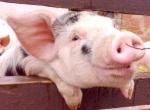 Бизнес план создания фермы по разведению свиней