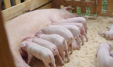 Пример бизнес плана по разведению свиней