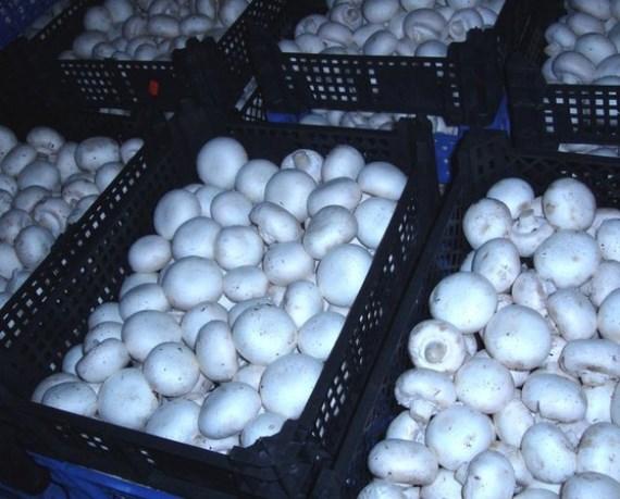 Реализация грибов шампиньонов