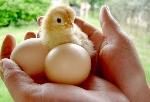 Перспективы бизнеса по разведению кур несушек на яйца