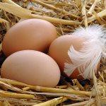 С чего начать разведение кур несушек на яйца как бизнес