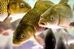 Как организовать бизнес по выращиванию рыбы