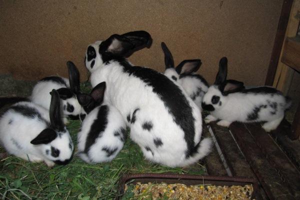 Какие условия необходимы для размножения кроликов