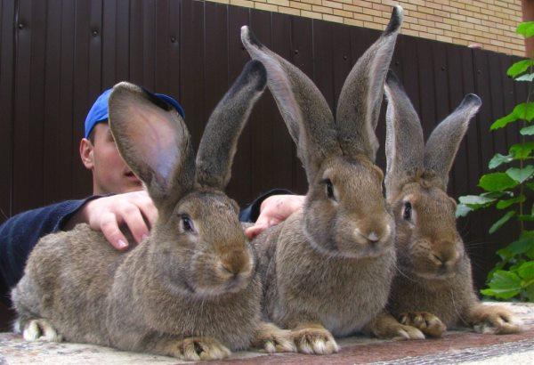 Особенности племенного разведения кроликов