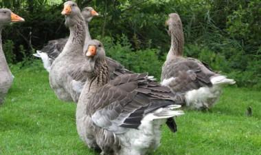 Как повысить доходность бизнеса по разведению гусей