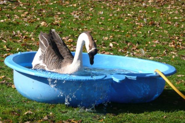 Как организовать водоем для гусей