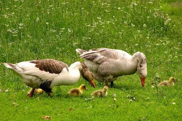 Чем кормить гусей в весенне-летний период