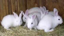 Особенности бизнеса по разведению кроликов в домашних условиях
