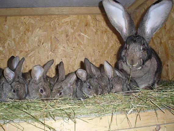 Как обеспечить размножение кроликов в домашних условиях