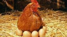Особенности создания бизнеса по разведению кур несушек на яйца
