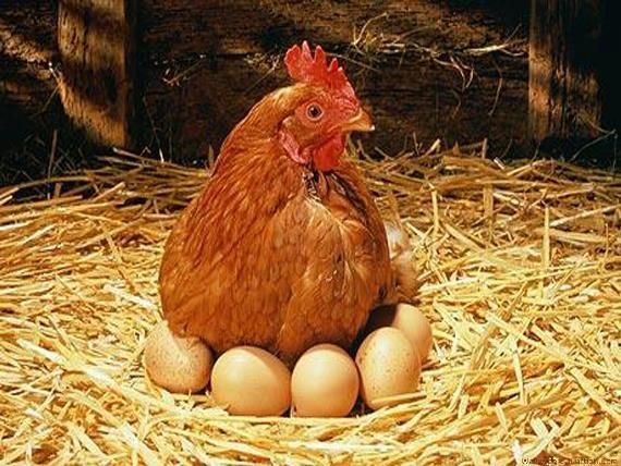 Особенности организации бизнеса по разведению кур несушек на яйца