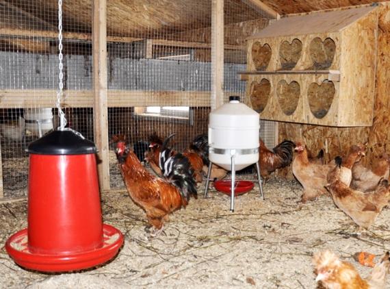Как оборудовать помещение для разведения кур несушек