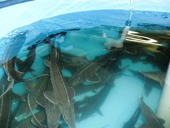 Преимущества разведения рыбы в бассейнах