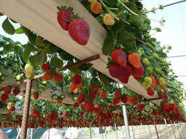 Как организовать бизнес на выращивании клубники в теплице круглый год
