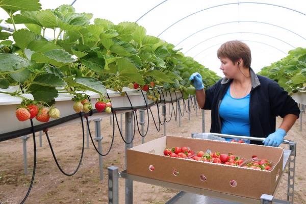 Технология сбора урожая клубники в тепличном хозяйстве