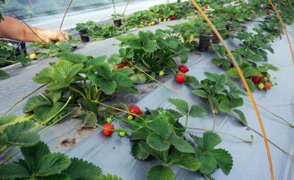 Какую технологию выбрать для бизнеса по выращиванию клубники