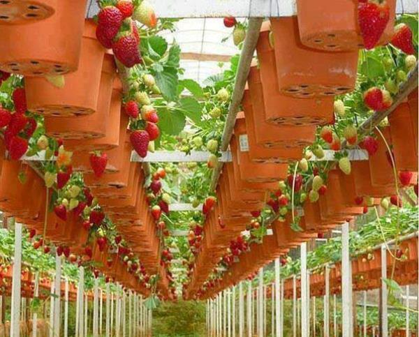 Преимущества использования подвесных конструкций для выращивания клубники