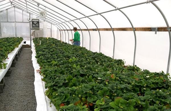 Виды теплиц для бизнеса на выращивании клубники